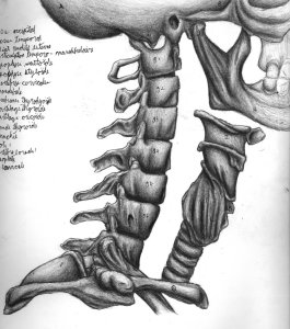Anatomical_study___neck_bones_by_northdrow